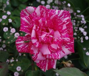 ROSE 1 (2)