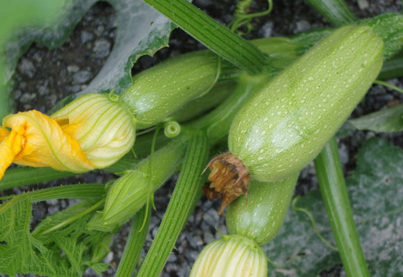 COUNTRY NOTES:  HOW I DEAL WITH THE ZUCCHINI CUCKOO