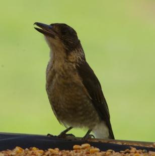 BUTCHERBIRD