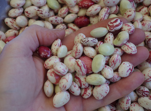 borlotti beans from the garden